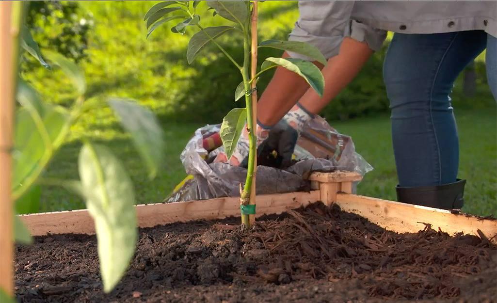 Plantarea arbustilor fructiferi